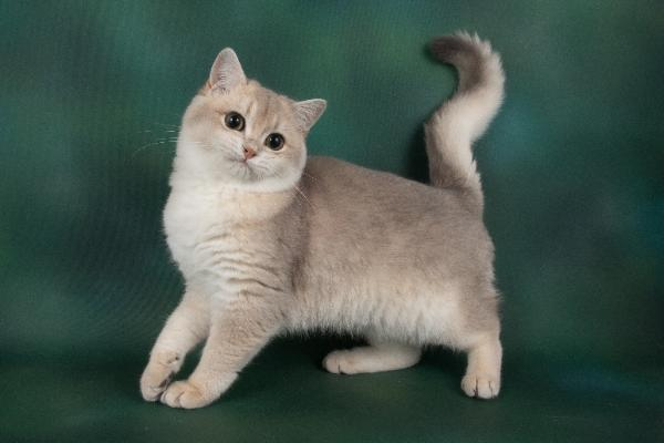 Blue golden british shorthair kittens